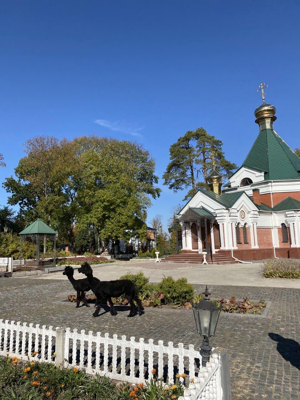 Лами прогнулються на території Свято-Богородичий Ризоположницький чоловічий монастир.